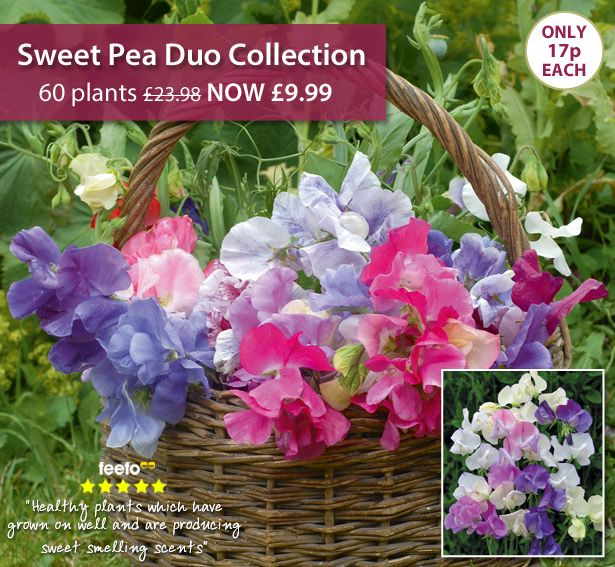 Take a look at this Sweet Pea Offer from Thompson & Morgan