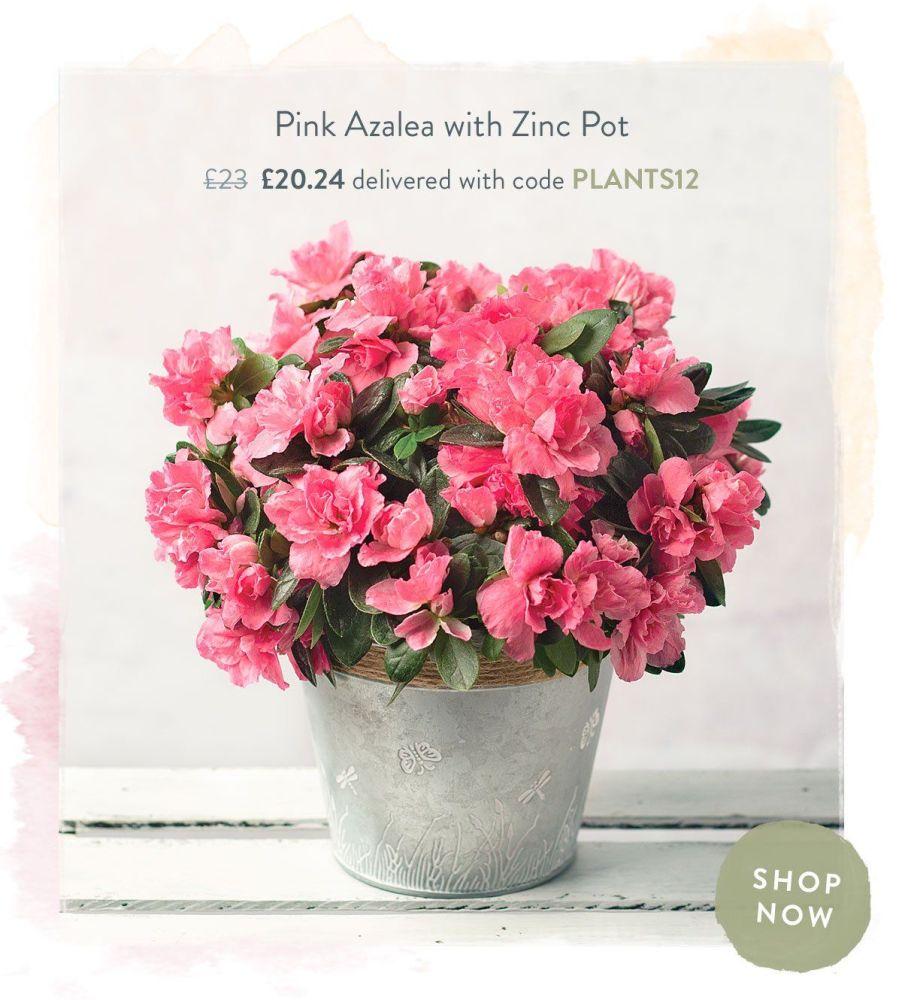Pink Azalea with Zinc Pot