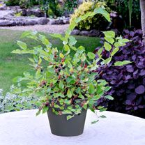 Give the experience of growing a Dwarf Mulberry Bush!