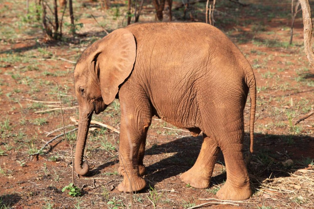 Adopt an African Elephant from the David Shepherd Wildlife Foundation