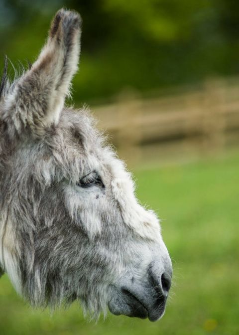 Adopt Ashley from the Donkey Sanctuary