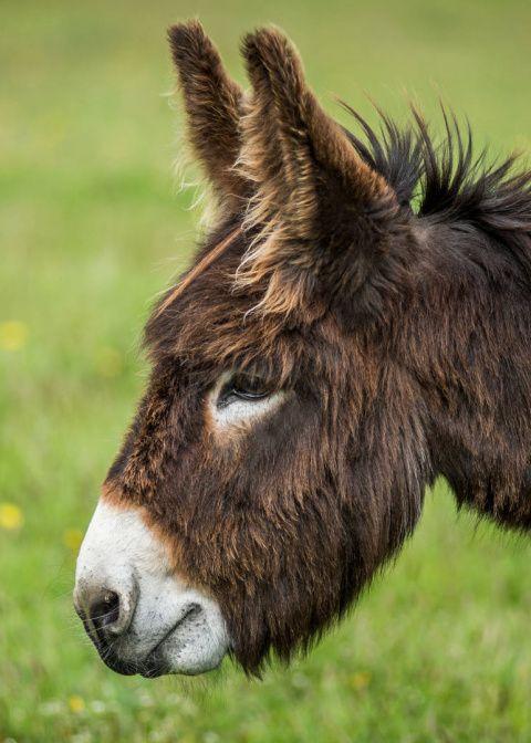 Adopt Zena from the Donkey Sanctuary