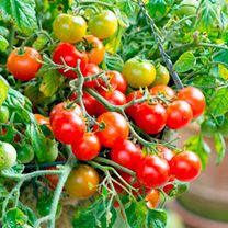 Tomato plants from Suttons - grow your own and tuck in!