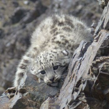 Adopt a Snow Leopard from the Snow Leopard Trust