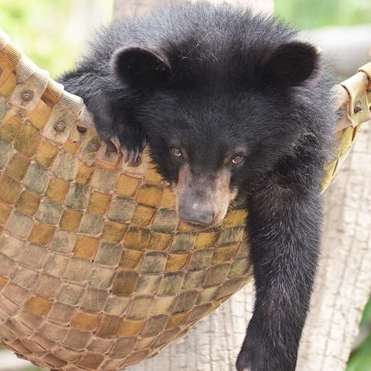 Give the bears a bear hammock to chill out in