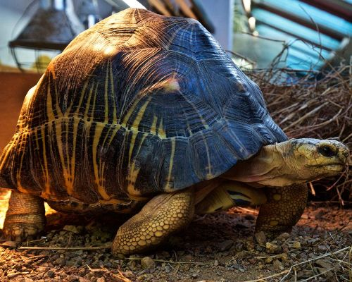 Adopt Astrid, the radiated tortoise
