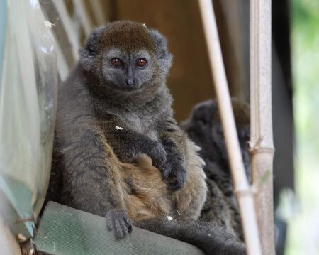 Adopt Miora, the Alaotran gentle lemur
