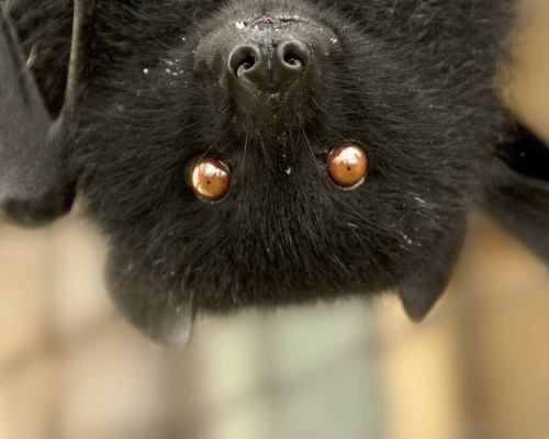 Adopt Barnaby, the Livingstone's Fruit Bat
