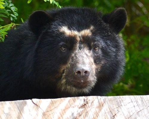 Adopt Bahia, the Andean Bear