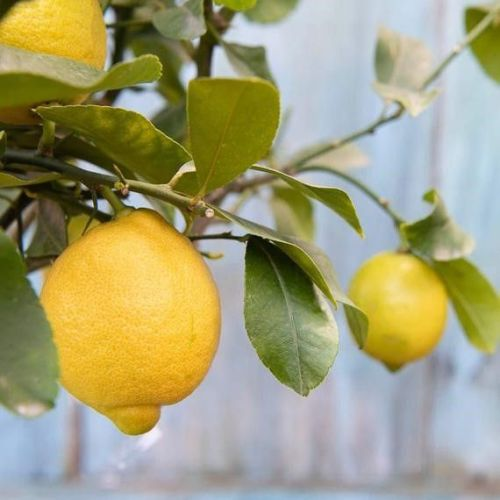 Send a lemon tree gift so Dad can grow lemons