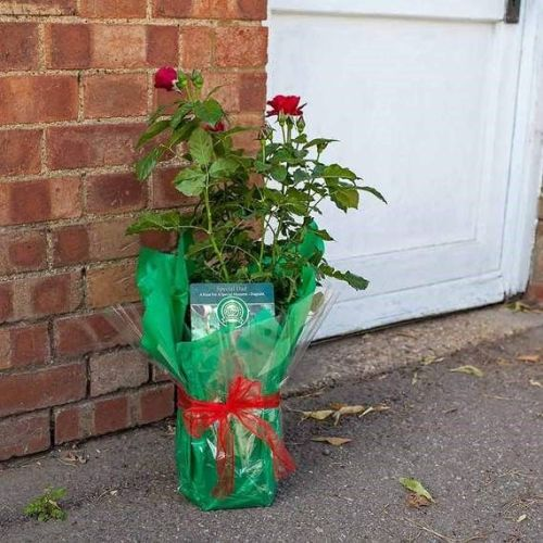 Special Dad Rose Bush Gift