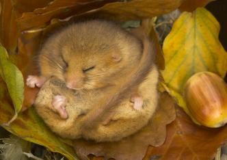Adopt a dormouse from a Wildlife Trust