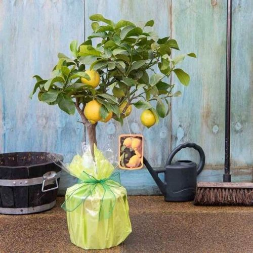 Send a Lemon Tree Gift with Tree2mydoor.com