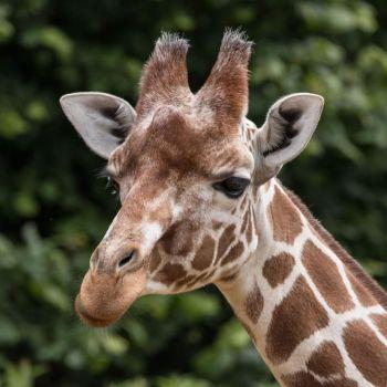 Adopt the Giraffes