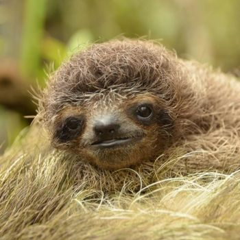 Adopt the Sloths