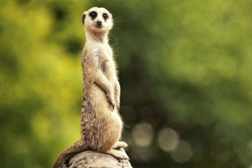 Come and meet the meerkats at one of several locations