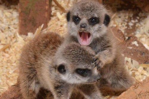 Meet the Meerkats!