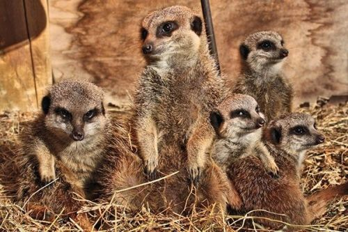 This is a great chance to find out more about meerkats
