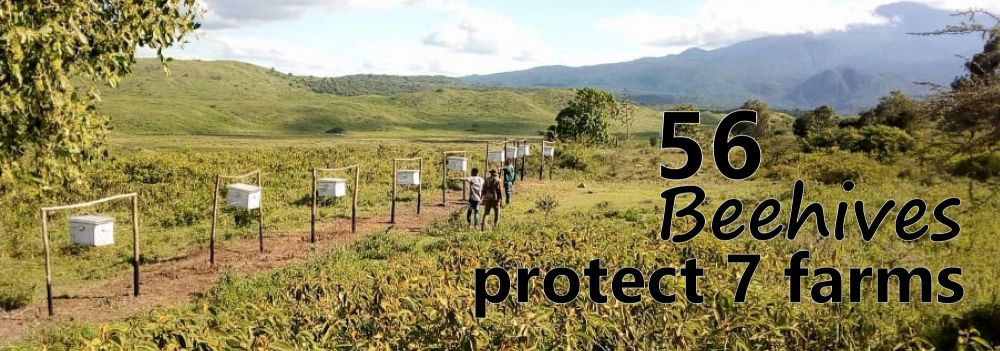 The beehives are succeedig in keeping the elephants off the farmers' crops