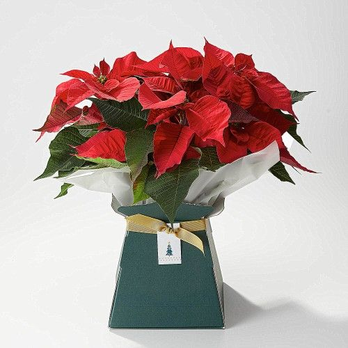 This is the Festive Poinsettia