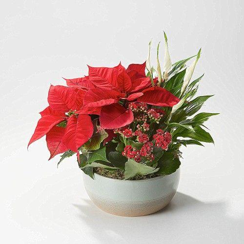 The Festive Reds Plant Medley includes a glazed ceramic bowl