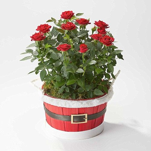 This is the Red Rose Santa Planter which includes a novelty Santa bowl