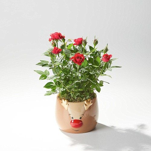 This is the Rudolph Rose Planter