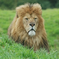 Adopt Spike the African Lion now