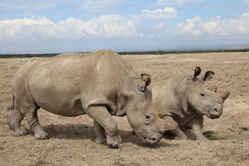 Adopt a Northern White Rhino from Helping Rhinos