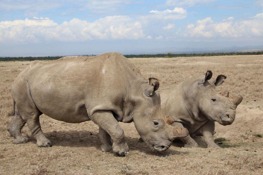 Adopt a Northern White Rhino from Helping Rhinos