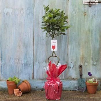 Send a Tree or Rose Bush or Plant from Tree2mydoor.com for Valentines Day
