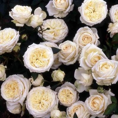 Silver 25th Wedding Anniversary Rose Gift