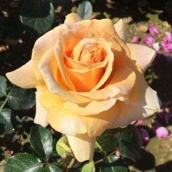 This is for a Coral Anniversary - a rose bush to celebrate 35 years!