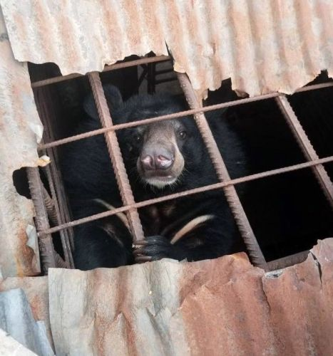Free the Bears heard of this poor bear in Laos who needed help and rescuing