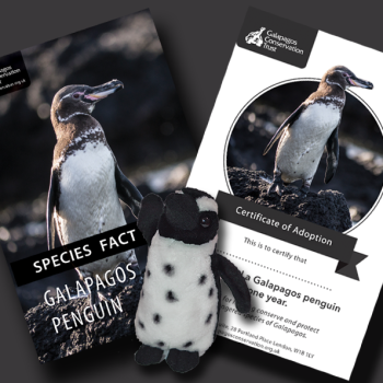 Adopt a penguin from the Galapagos Conservation Trust