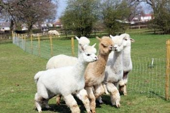 Lucky Tails Alpaca Farm Entry with Alpaca Walk for Two Adults and Two Children