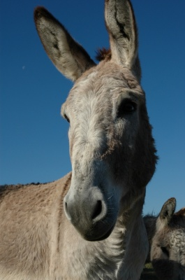 Adopt a Donkey from the Elisabeth Svendsen Trust