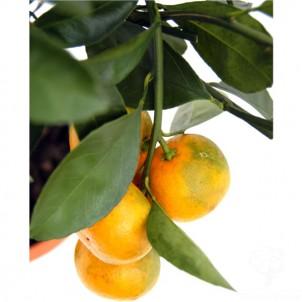 Orange Tree Gift