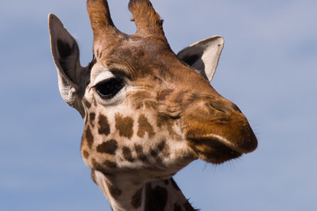 Adopt a Rothschild Giraffe with the Aspinall Foundation