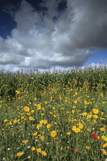 Help the National Trust restore or plant a wildflower meadow