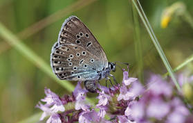 Your gift could also save the large blue butterfly