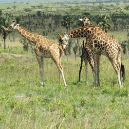 Adopt a giraffe family from the Born Free Foundation
