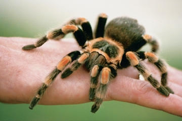 Tickle a Tarantula for One at Drusillas Park