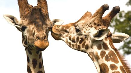 Giraffe Encounter at Knowsley Safari Park