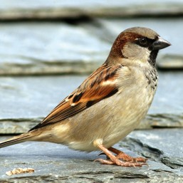 Hallo!  I'm a House Sparrow and you can find gift ideas here to help me and my feathered friends :-)