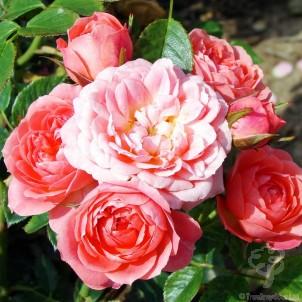 Happy Times Rose Bush Gift