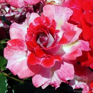 Special Mum Rose Bush Gift