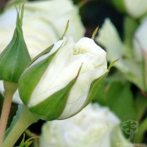 With Love Rose Bush