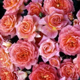 Special Grandma Rose Bush Gift