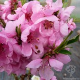 Tree2mydoor.com have lovely ideas for Mothers Day including this Dwarf Diamond Peach Tree Gift